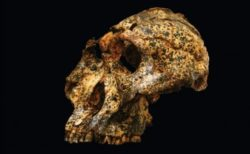 南アで発見された「パラントロプス・ロブストス」の頭蓋骨、豪の研究者が分析