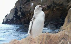 ガラパゴス諸島で非常に珍しい白いペンギンを発見、白変種の可能性