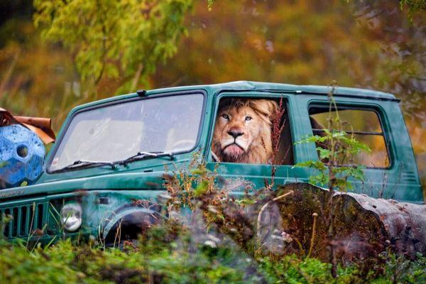 あれ?いる場所が逆?動物園でジープに乗るライオンを目撃