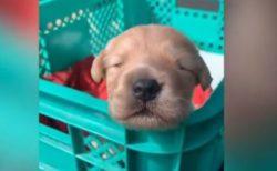 生まれて間もない子犬が吠える練習、その様子が超キュート【動画】