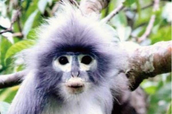 ミャンマーで新種のサルを発見、博物館の組織サンプルなどを分析して判明