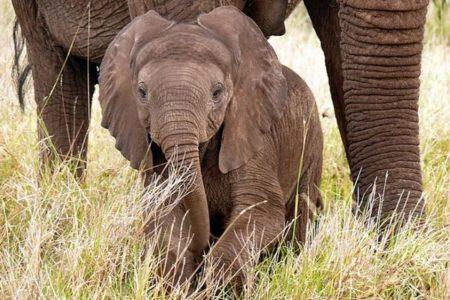 ケニアでゾウのベビーブームが到来、記録的な数の子供が誕生