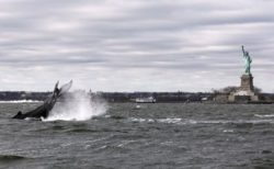 ニューヨークの海にザトウクジラが出現、「自由の女神」の前を泳ぐ