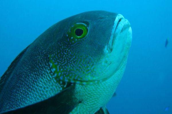 豪の珊瑚礁で暮らす熱帯の魚、81年間も生きつづけてきた可能性