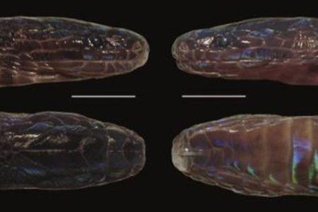 ベトナム北部で発見された虹色のヘビ、色のパターンや鱗などから新種と判明