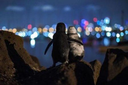お互いに恋人を失ったペンギンたち、慰めあうような姿の写真が切ない