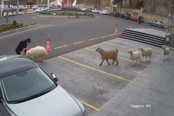 羊やヤギが市民ホールに集結、警備員らを追いかけ、頭突きまで食らわす