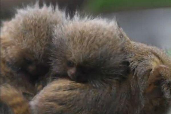 大きさはわずか5cm、とっても小さいサルの双子が英の動物園で誕生