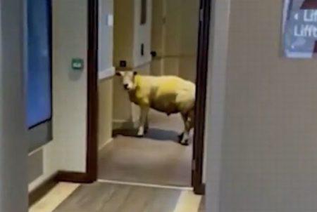 英のホテルに羊が侵入、エレベーターの前で待っている姿が面白い