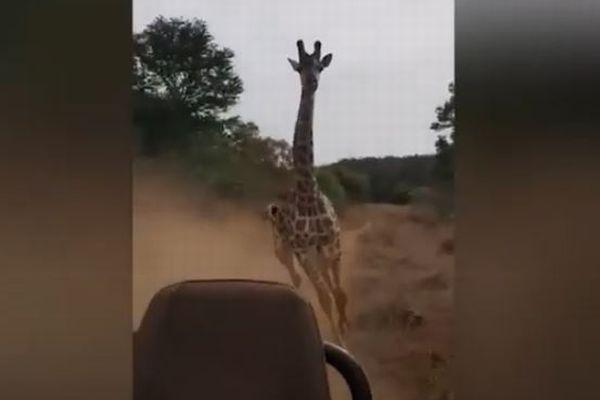 キリンだって怒ったら大変、猛烈な勢いで車を追いかける動画が恐ろしい