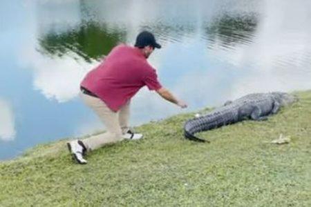 ワニの尻尾にゴルフボール、それを取ろうとする動画にヒヤヒヤ