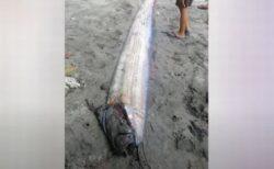フィリピンで「リュウグウノツカイ」、地震後に浜辺に漂着