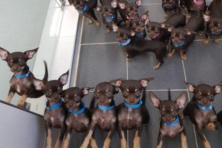 49回複製されたクローン犬が世界記録に