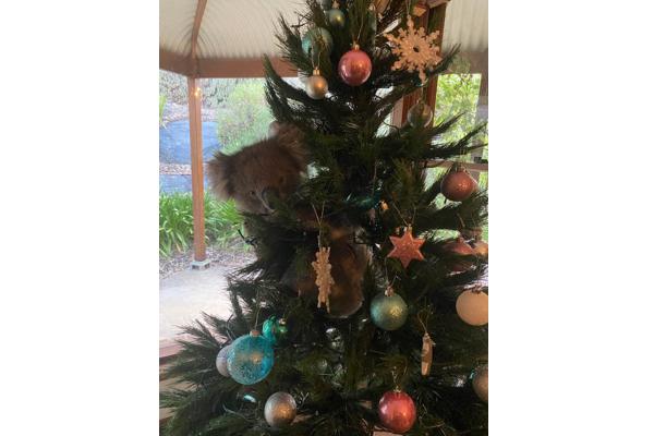 帰宅したら飾ったクリスマスツリーにコアラが抱きついていた【オーストラリア】