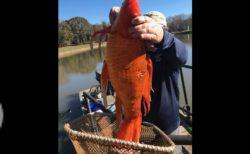 4kg超の大金魚、サウスカロライナ州の湖で見つかる