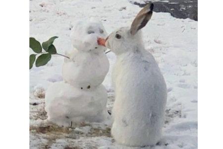 雪だるまの鼻ニンジンを白ウサギがポリポリ、可愛い動画が海外メディアで話題