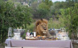 「僕のご飯は?」アフリカで屋外ディナーの準備中にライオンが出現