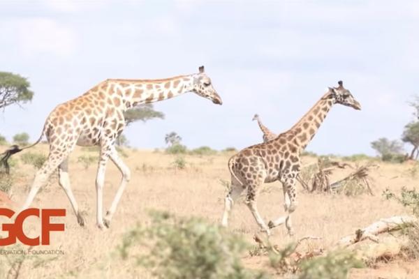 アフリカで、初めての短足キリンが発見される