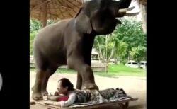 人をマッサージしてくれる象、可愛いけど動物虐待との意見も