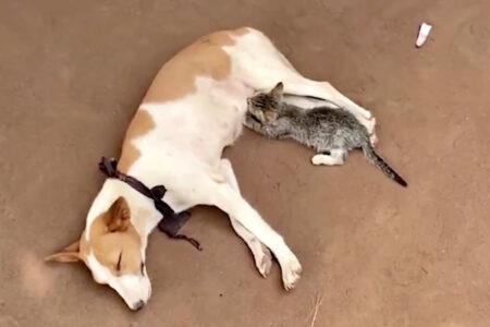 犬が猫に乳を与える、ありそうでなさそうな動画