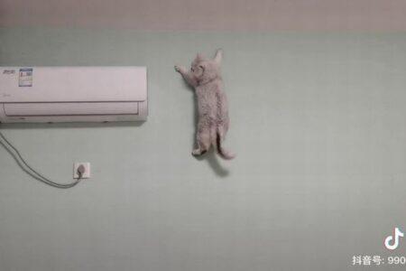 中国のスパイダーキャット!壁にぴったり貼り付くネコがすごい!