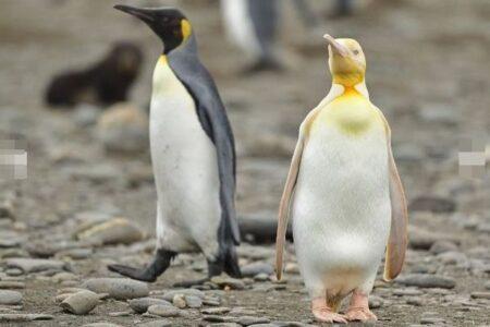 頭が黄色、体がクリーム色をした珍しいペンギン、南大西洋の島で撮影に成功
