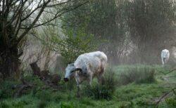 フェイスブックが牛の写真を「あまりにセクシー」と判断、広告アカウントを凍結
