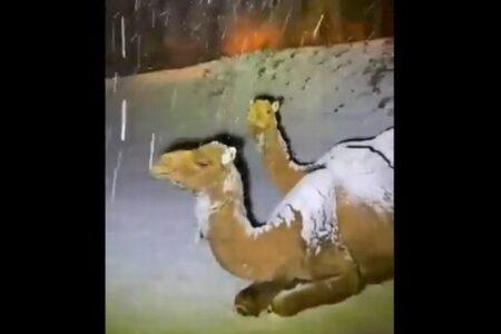 サウジアラビアで降雪、体に積もっていく雪にラクダも困惑?