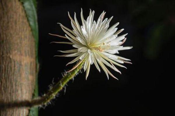 イギリスにある珍しいサボテンの花、数年間の時を経て初めて開花