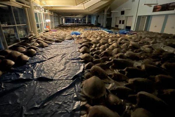 強烈な寒波からウミガメを守れ!テキサス州で4700匹を別の施設へ移動