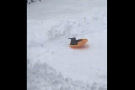 ソリに乗るのが大好きなニワトリ、1羽で雪の斜面を滑っていく【動画】