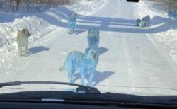 ロシアの工場付近で体が青く染まった野良犬、7匹が発見され保護される