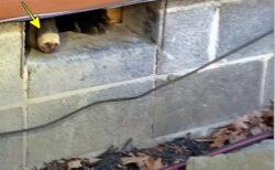 自宅の床下でクマが冬眠!ガス漏れ修理で発見、子グマを残して逃げた親は現場に戻っていた