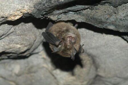 タイのコウモリから新型コロナに近いウイルスを発見、アジアに広く分布か