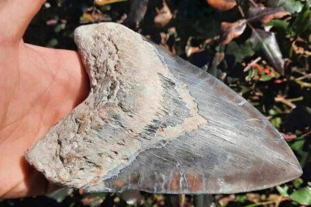 大きさは16センチ、米で男性がメガロドンの巨大な歯を発見