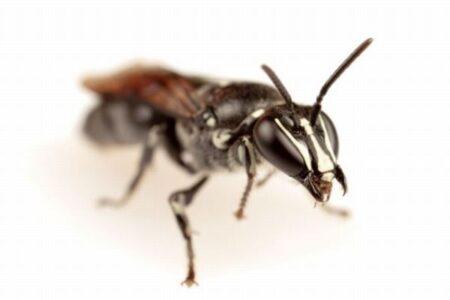 約100年間確認されてこなかった稀少なハチ、オーストラリアで発見