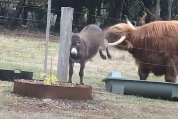 「こっちに来ないで!」小さなロバが大きな牛を威嚇、後ろ足で蹴り追い払う