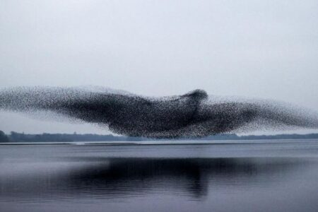 ムクドリの群れが巨大な鳥に変身、大きな翼を広げた瞬間を撮影