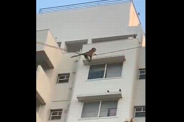 サルが電線を使って滑っていく、インドで撮影された動画が面白い