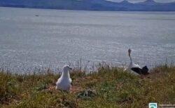 NZでアホウドリが着陸に失敗、顔面から地面に突っ込み、足をバタバタ