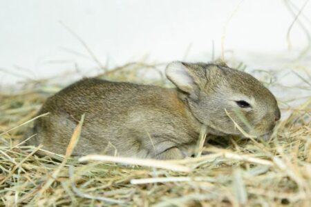 トラックの干し草の中で発見されたウサギの赤ちゃん、300kmも旅を続けていた!