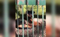 中国の動物園が犬をオオカミに見立てて展示?ネット上で動画が拡散