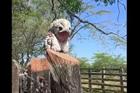 「ゴーストバード」とも呼ばれる怪鳥、タチヨタカを初めて見た女性もびっくり