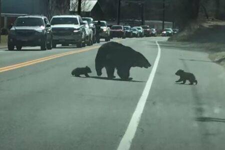 道路を渡ろうと苦労する母グマ、子供がついてこなかったり、戻ったりして大変
