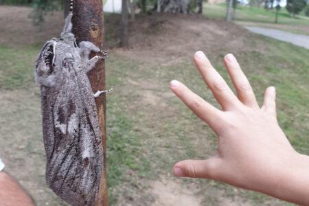 手のひらより大きい蛾が撮影され、アマチュア昆虫学者たちも興奮