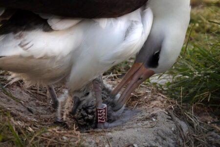 世界最高齢の鳥、70才で子供を作る