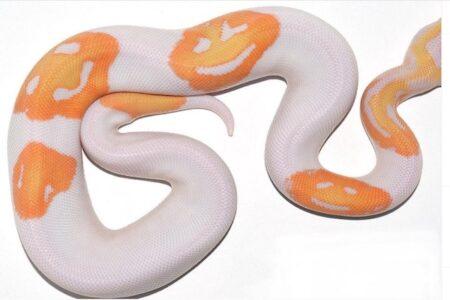 ヘビの模様がスマイル絵文字、約65万円で売却