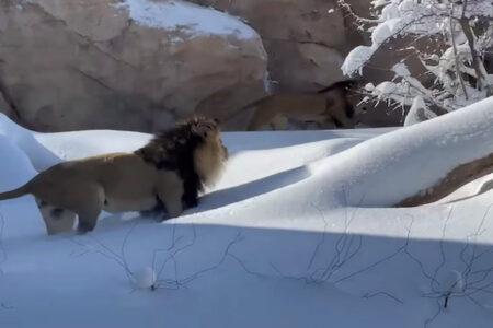 ライオンが雪遊び、喜んで走り回る珍しい場面が撮影された