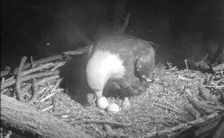 孵らない卵を温め続けるハクトウワシの動画が悲しすぎる