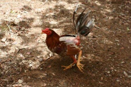 インドで闘鶏に参加していた男性、自らの雄鶏によって殺される